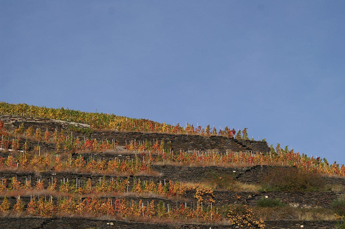Von blassem Gelb über flammendes Rot bis hin zu einem rostigen Braun zeigt das Weinlaub im Ahrtal im Herbst alle Schattierungen