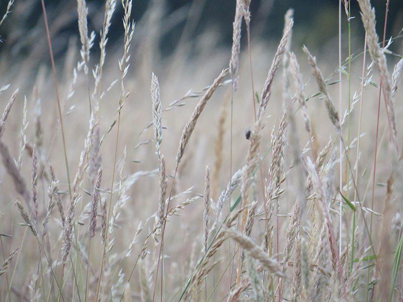 Hier steht ein Bild mit dem Titel: Leise streicht der Wind durchs Gras (Foto: Hans-Joachim Schneider)