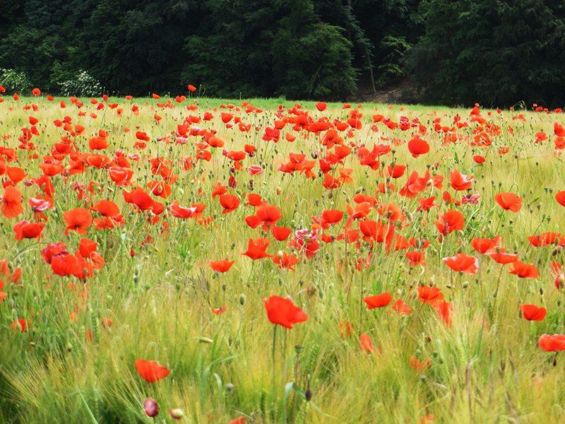 Das Rot des Klatschmohns bestimmt das Bild auf dem folgenden Wegstück (Foto: Hans-Joachim Schneider)