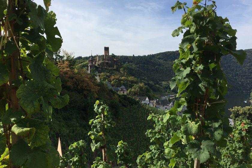 Am Beginn der Moselsteig-Etappe 17 fällt der blick durch grüne Weinranken auf Burg Beilstein unter strahlend blauem Himmel.