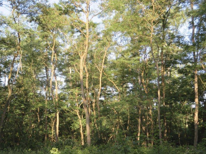 Wald, grün, Robinien, Scheinakazien, Wanderweg, Brühler Seenplatte