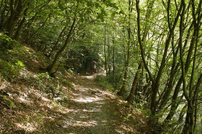 Junger Wald, mitten darin ein mit herbstlichem Laub übersäter Pfad